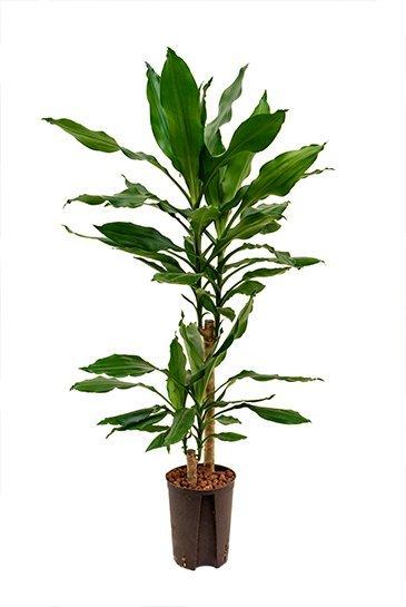 Dracaena Fragrans  (Drakenbloedboom) - Hydrocultuur