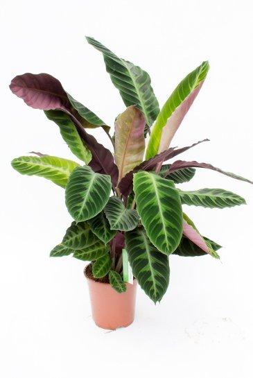 Calathea Warcewiczii - Pauwenplant