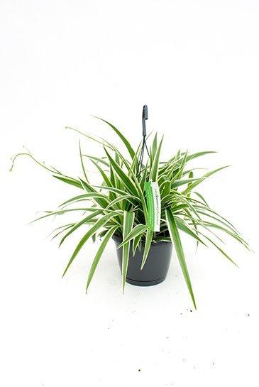 Chlorophytum Laxum - Graslelie