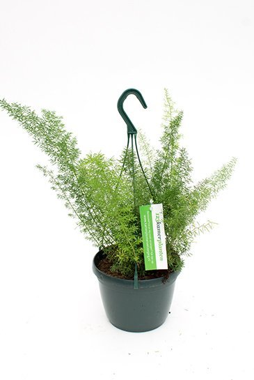 Asparagus Meyers - Sierasperge