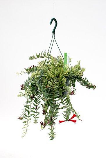 Aeschynanthus Bolero Bicolore - Schaamrood
