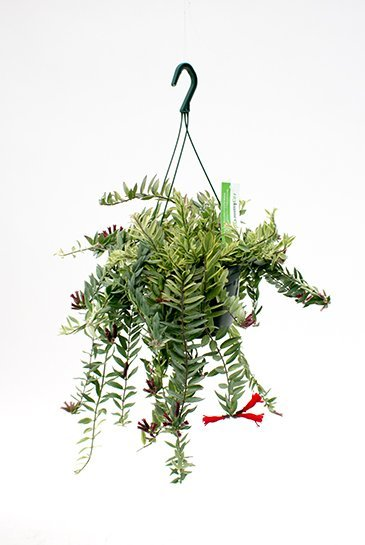 Aeschynanthus Bolero Bicolore