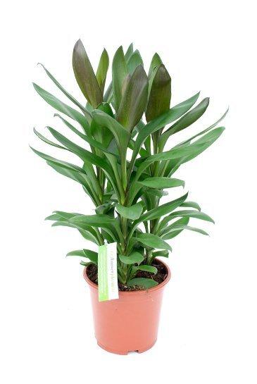 Cordyline Glauca - Hawaiian Ti Plant