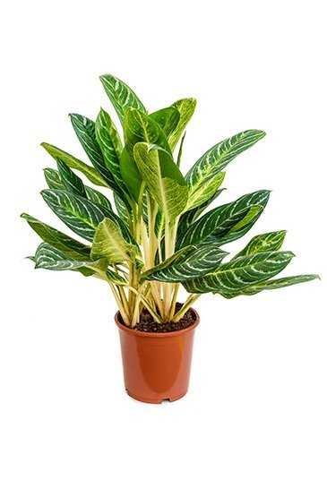 Aglaonema Key Lime - Chinese evergreen