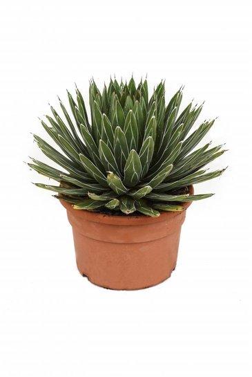 Agave Victoria Reginae - Century Plant