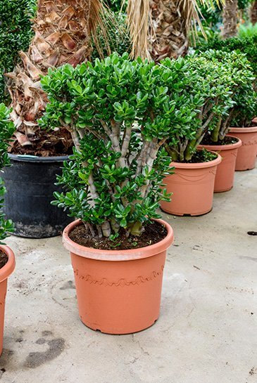 Crassula Ovata - Jadeplant