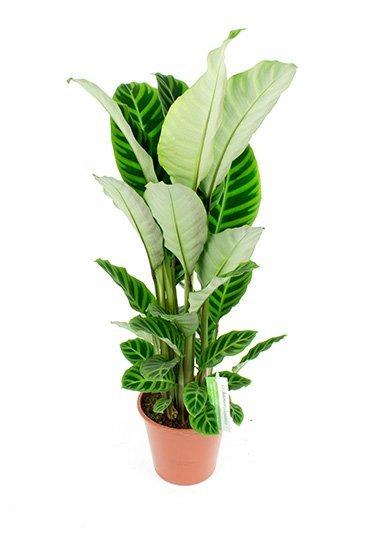 Calathea Zebrina - Pauwenplant