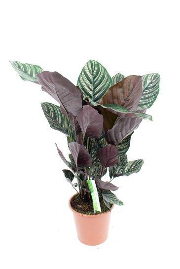 Calathea Ornata - Pauwenplant