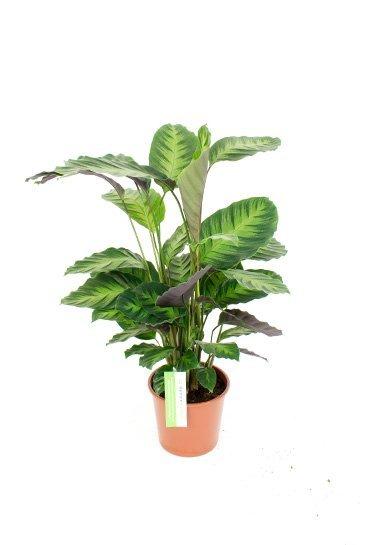 Calathea Misto - Pauwenplant