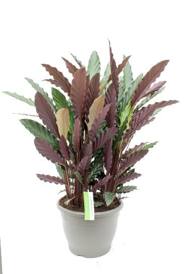 Calathea Wavestar - Pauwenplant