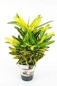 Croton Golden Bell