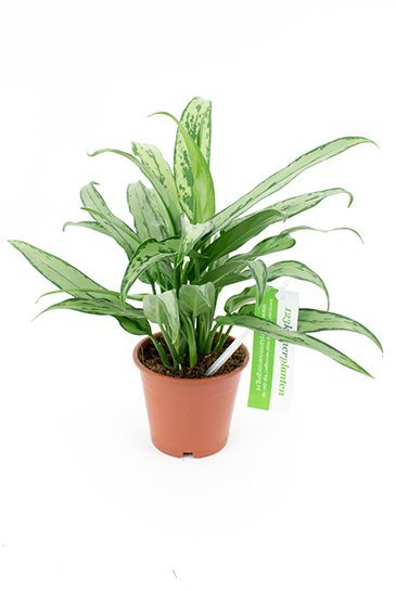 Aglaonema Cutlass - Chinese Evergreen