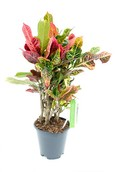 Croton Nervia