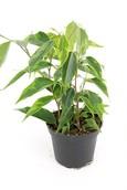 Ficus Benjamina Anastasia