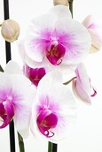Orchidee Mountion
