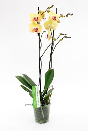 Orchidee tak kopen