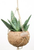 Kokodama Aloe