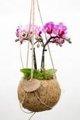 Kokodama Jungle Orchid