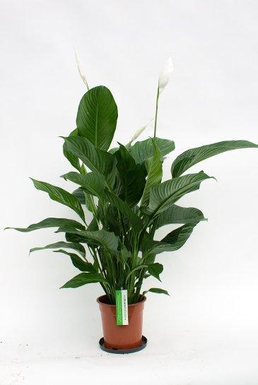 Spathiphyllum Lauretta - Lepelplant