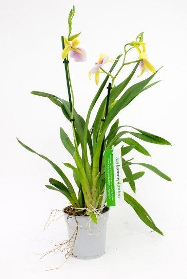 Orchidee Miltonia Sunset (Geel)