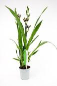 Orchidee Zygopetalum Trozy Blue