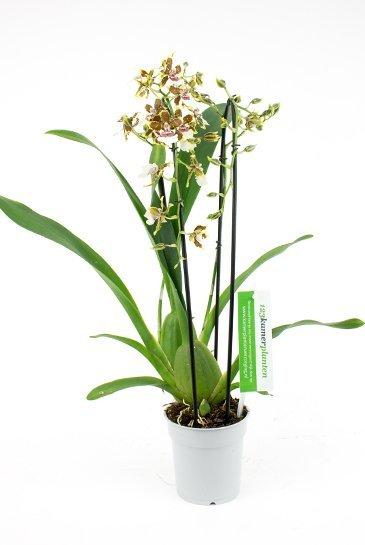 Orchidee Cambria Tropic Jungle (Geel/Bruin)