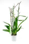 Orchidee Brassia Toscane