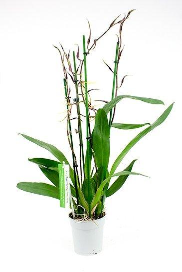 Orchidee Brassia Toscane (Geel/Bruin)