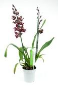 Orchidee Cambria Stirbic Red
