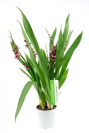 Orchidee Cambria Lazio (Bordeaux)