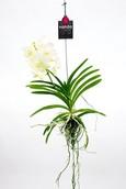 Orchidee Vanda Tayanee white