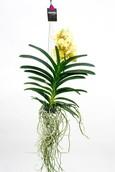 Orchidee Vanda Yellow Henna