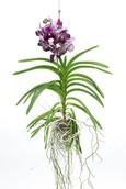 Orchidee Vanda Dark chocolate