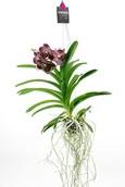 Orchidee Vanda Midnight Black