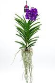 Orchidee Vanda Tayanee maxi blue