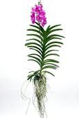 Orchidee Vanda Pink magic XL