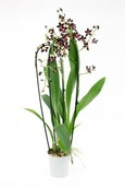 Orchidee Cambria Black Pearl