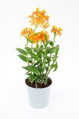Orchidee Epidendrum Orange