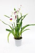 Orchidee Miltoniopsis Herr Alexander