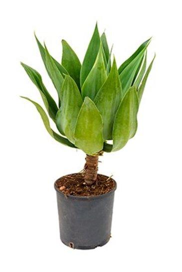 Agave Attenuata - Century Plant