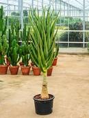 Aloe Hercules