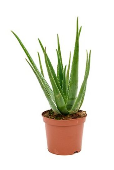 Aloe Vera - Wonderplant