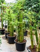 Bambusa Groen