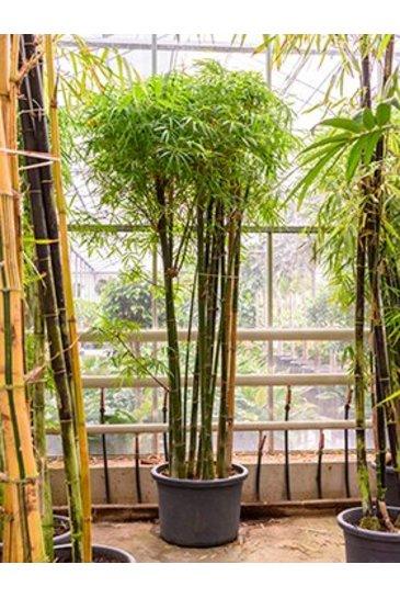 Bambusa Siamensis - Bamboe