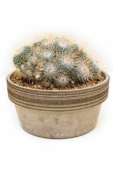 Cactus Mammillaria Geminispina - Tepelcactus
