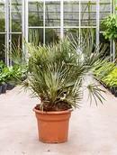 Palm Chamaerops Cerifera