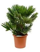 Palm Chamaerops Humilis Compacta
