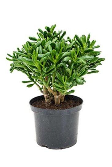 Crassula Gollum - Jadeplant