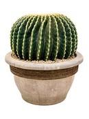 Cactus Subinermis