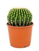 Echinocactus Subinermis